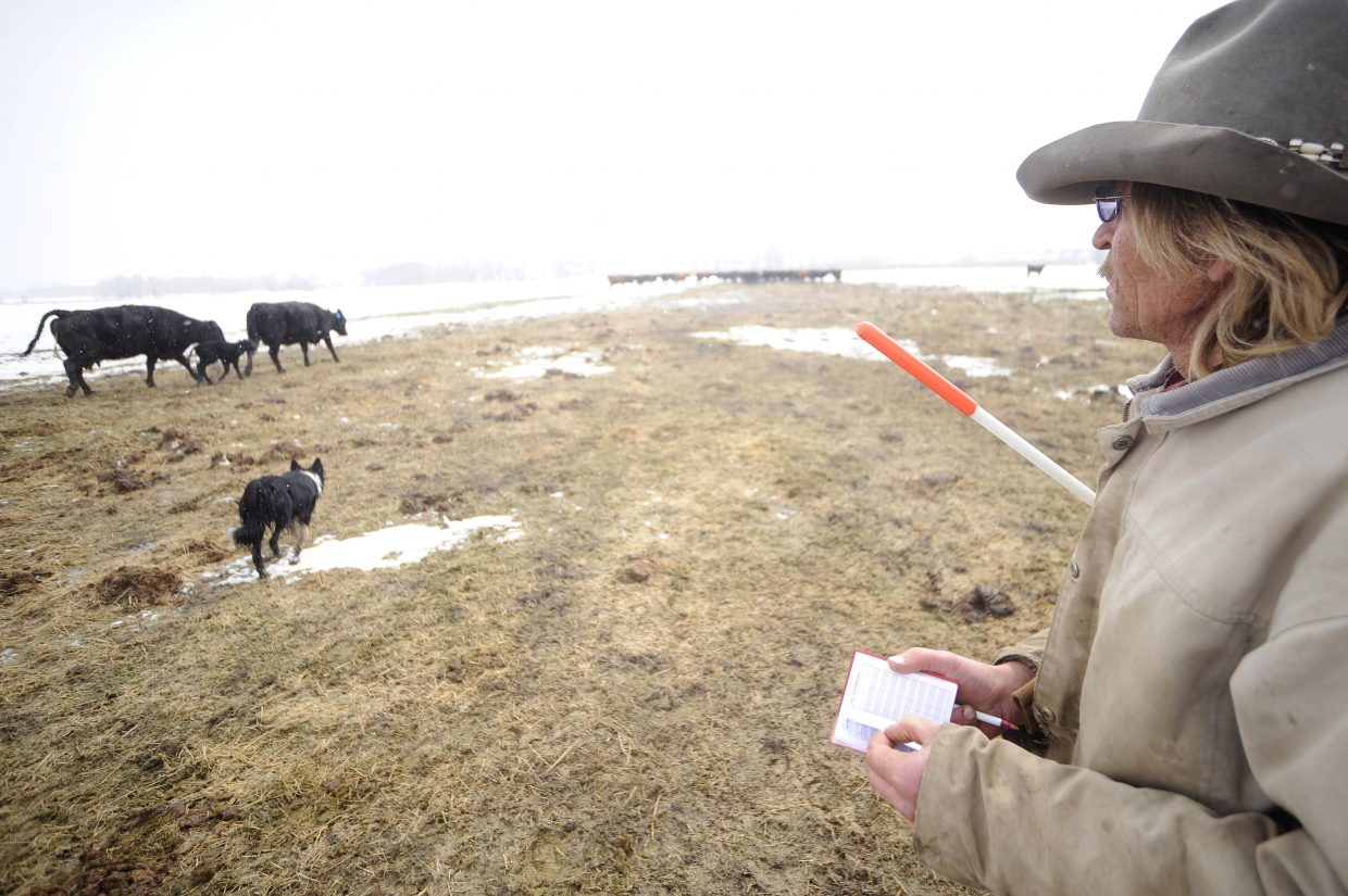 Larry Monger checks his book to confirm the identity of a calf and its mother.