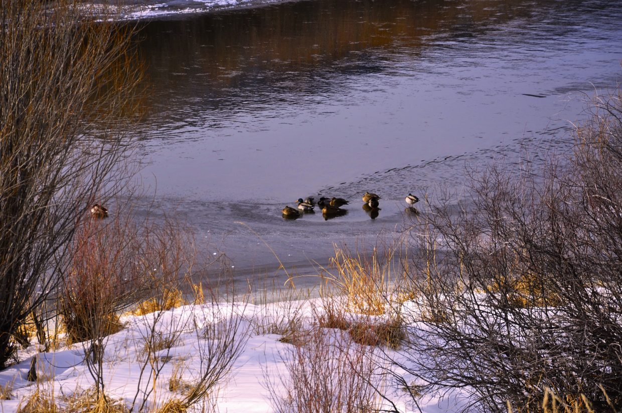 Ducks in the Yampa River on Christmas eve. Submitted by: Terry Leonard