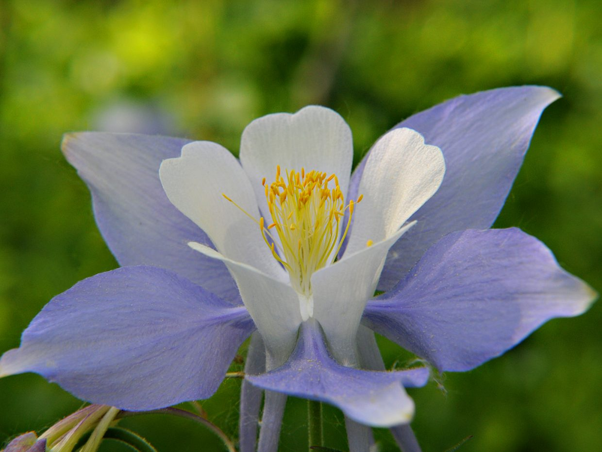 Columbines are blooming on the Mad Creek trail. Submitted by: Jeff Hall