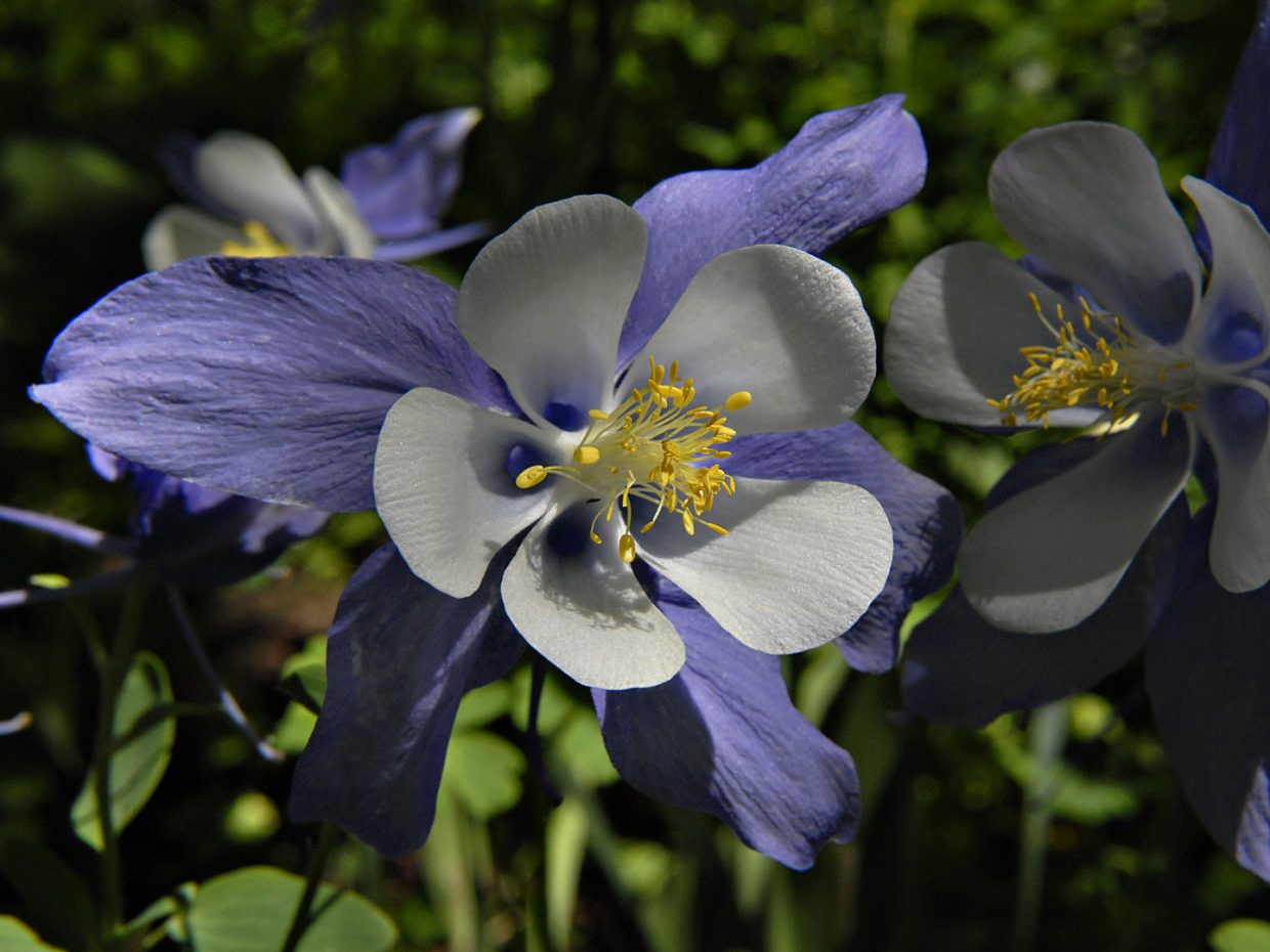 Columbines at Yampa River Botanic Park. Submitted by: Jeff Hall