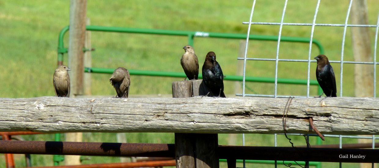 Cowbirds. Submitted by: Gail Hanley