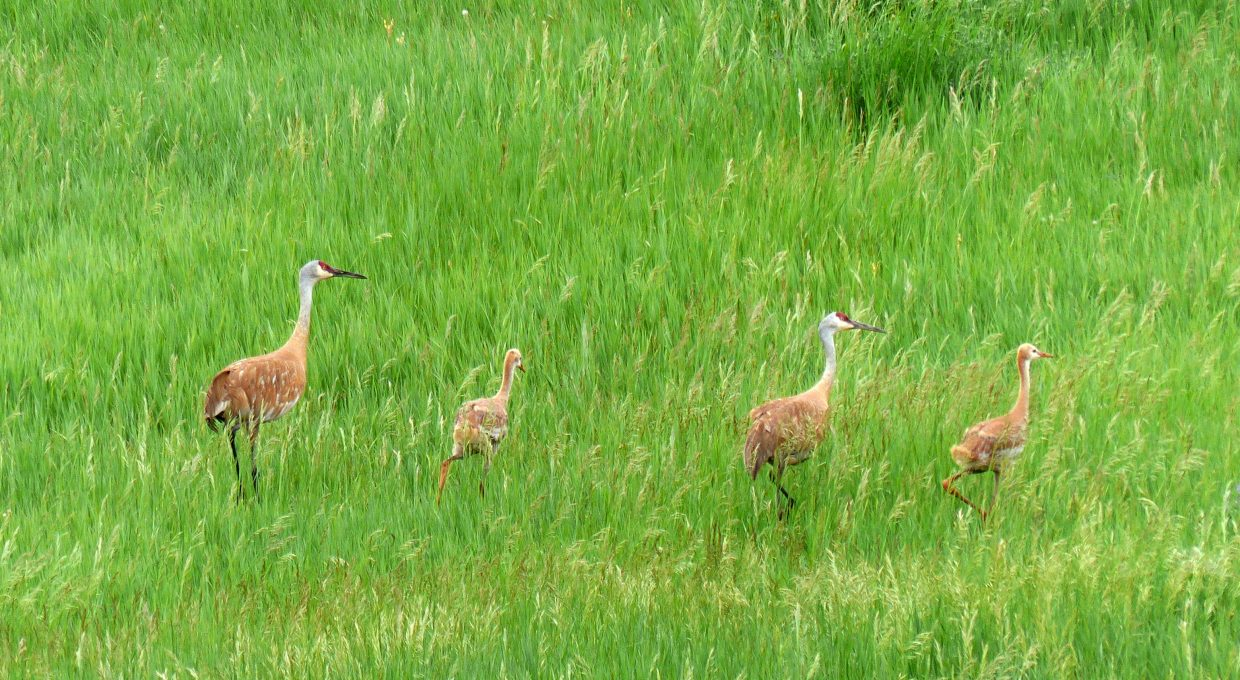 Sandhill crane family outing. Submitted by: David Moulton