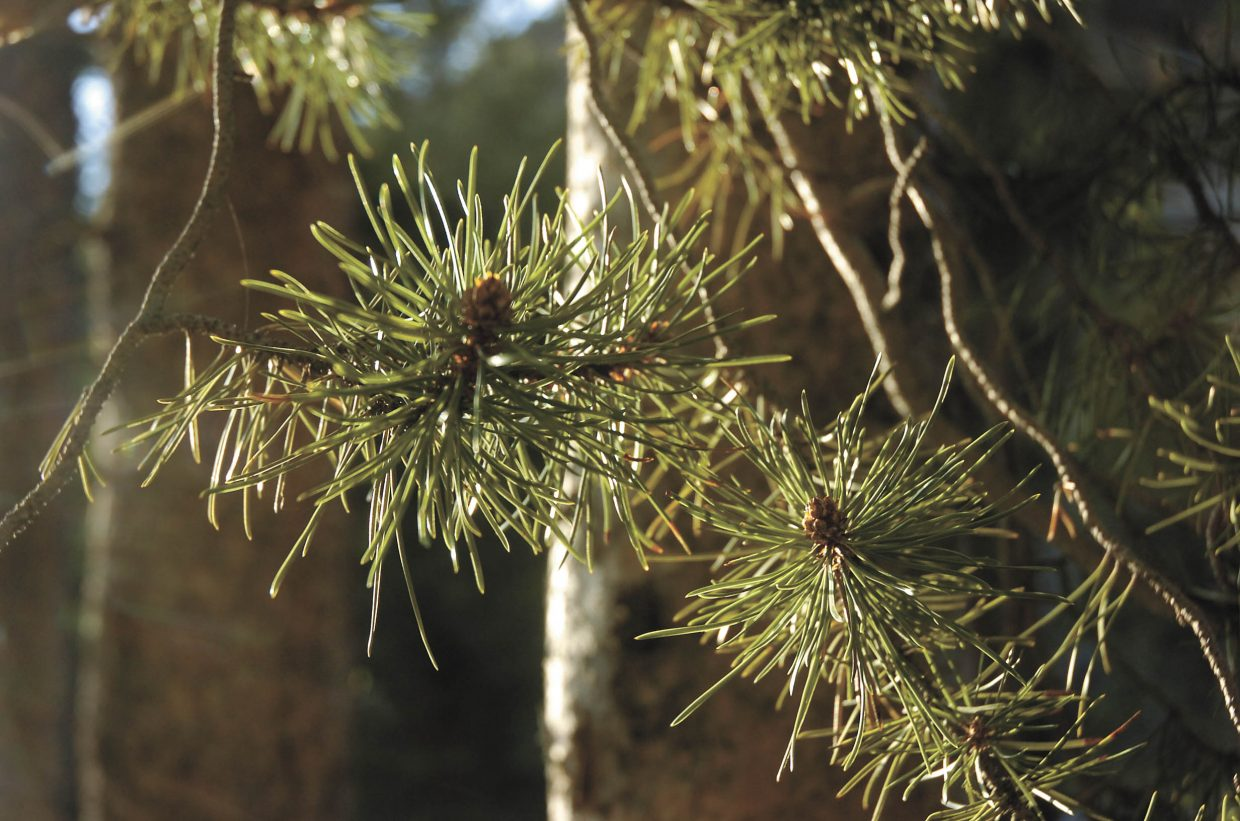 Lodgepole pine needles in the sun at the Lodgepole Campground in Gunnison.