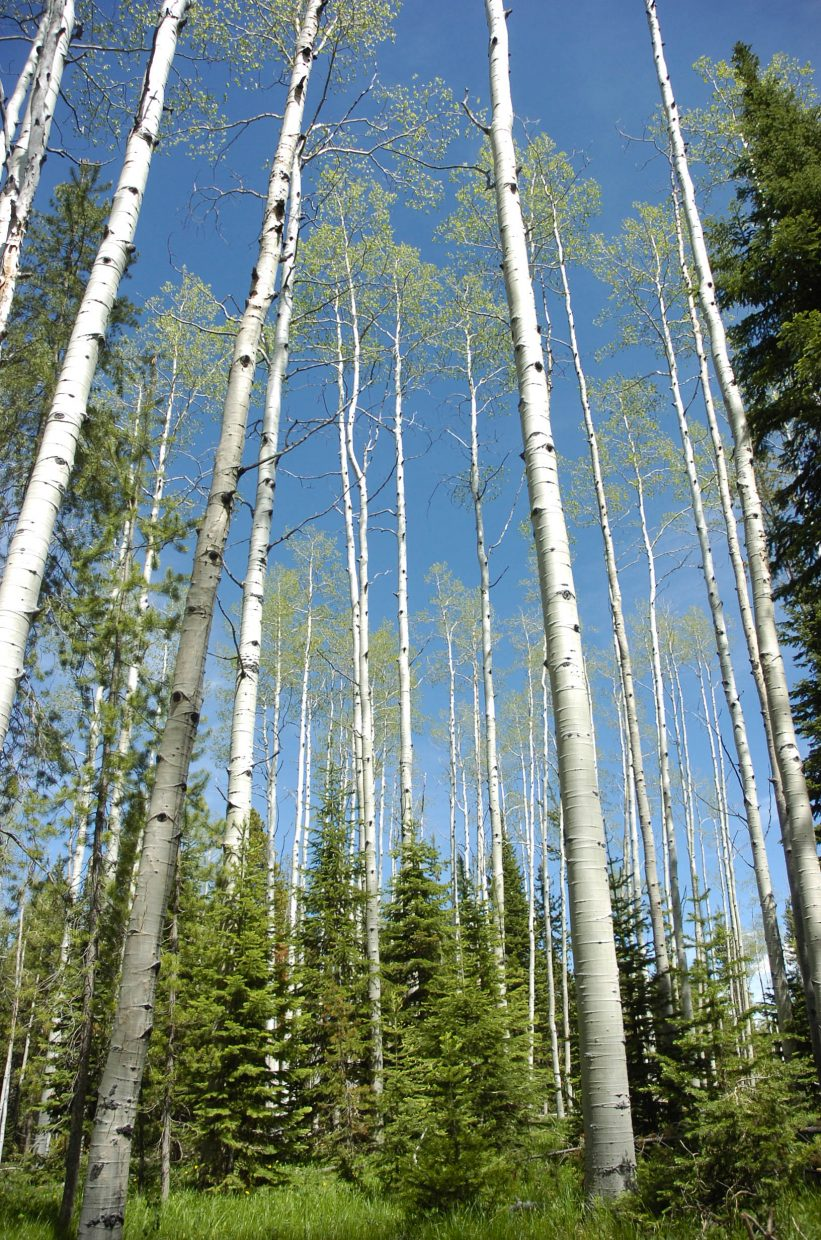 Aspens are the dominant species at the Red Creek subdivision in North Routt County, where mature lodgepoles were thinned.