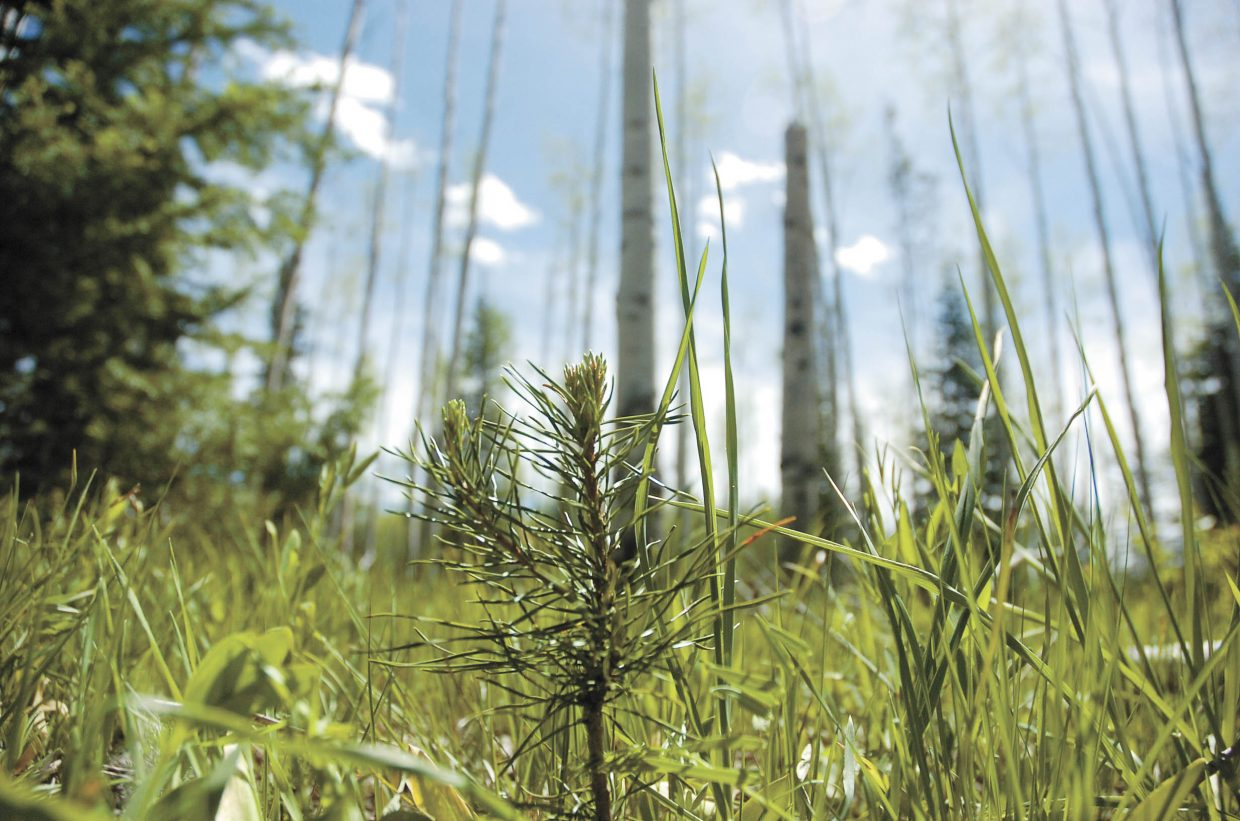 A lodgepole pine sapling grows in North Routt County.