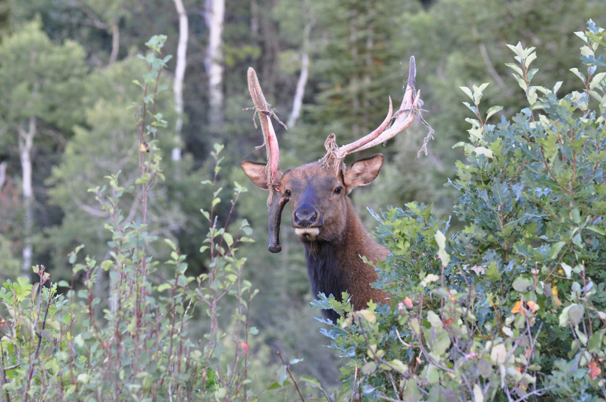 Non-typical bull elk. Shot this in Steamboat at 20 yards. Submitted by: Terry Leonard