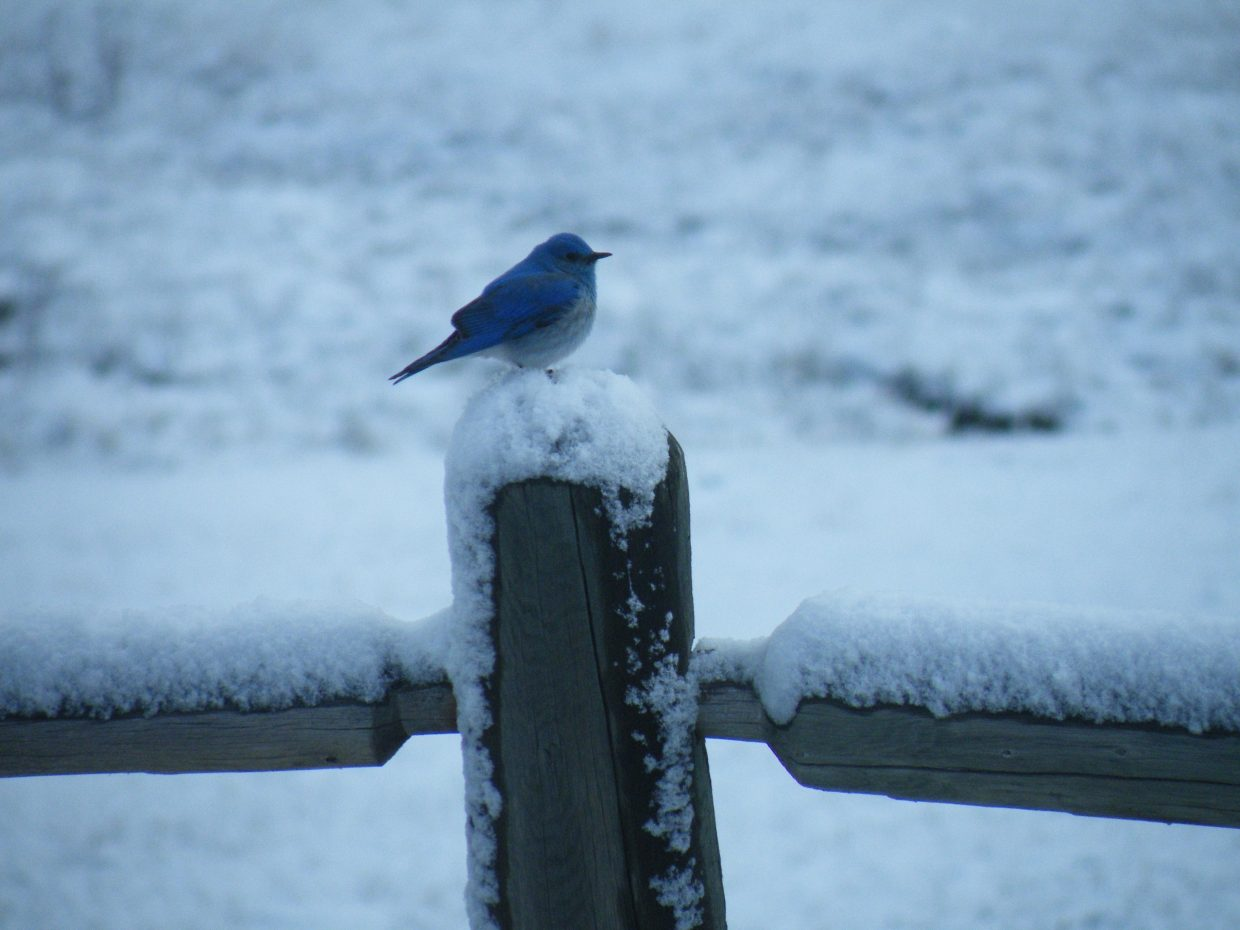 Mountain bluebird in rural Routt County on April 13. Submitted by: Blair Weibel