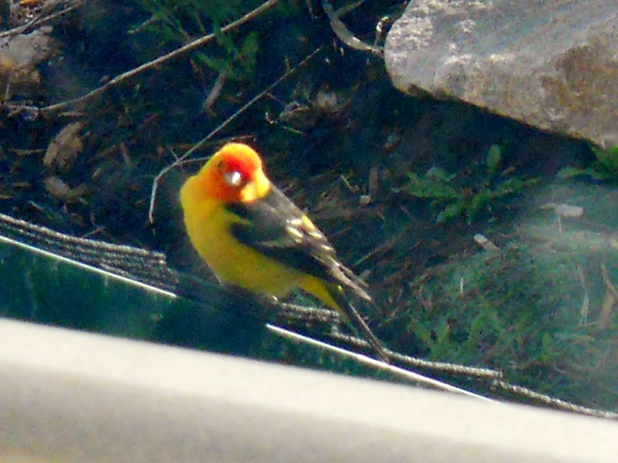 Western Tanager. Submitted by: Jacki Hofman