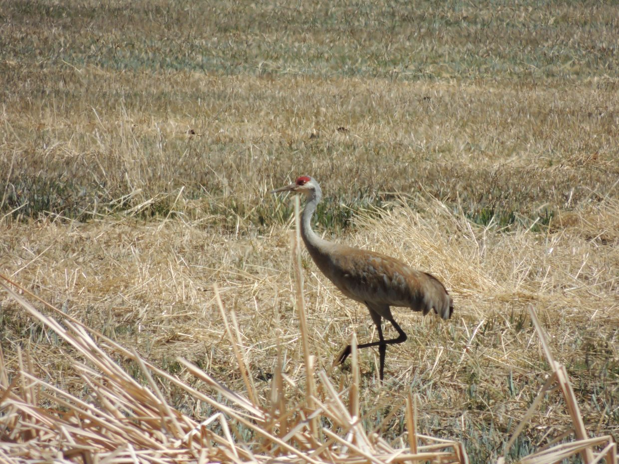 Steamboat Today reader Stewart L. Beall submitted this photo of a sandhill crane along Routt County Road 18. A discussion about a proposal to establish a hunting season for sandhill cranes is at 7 p.m. Wednesday in Steamboat.