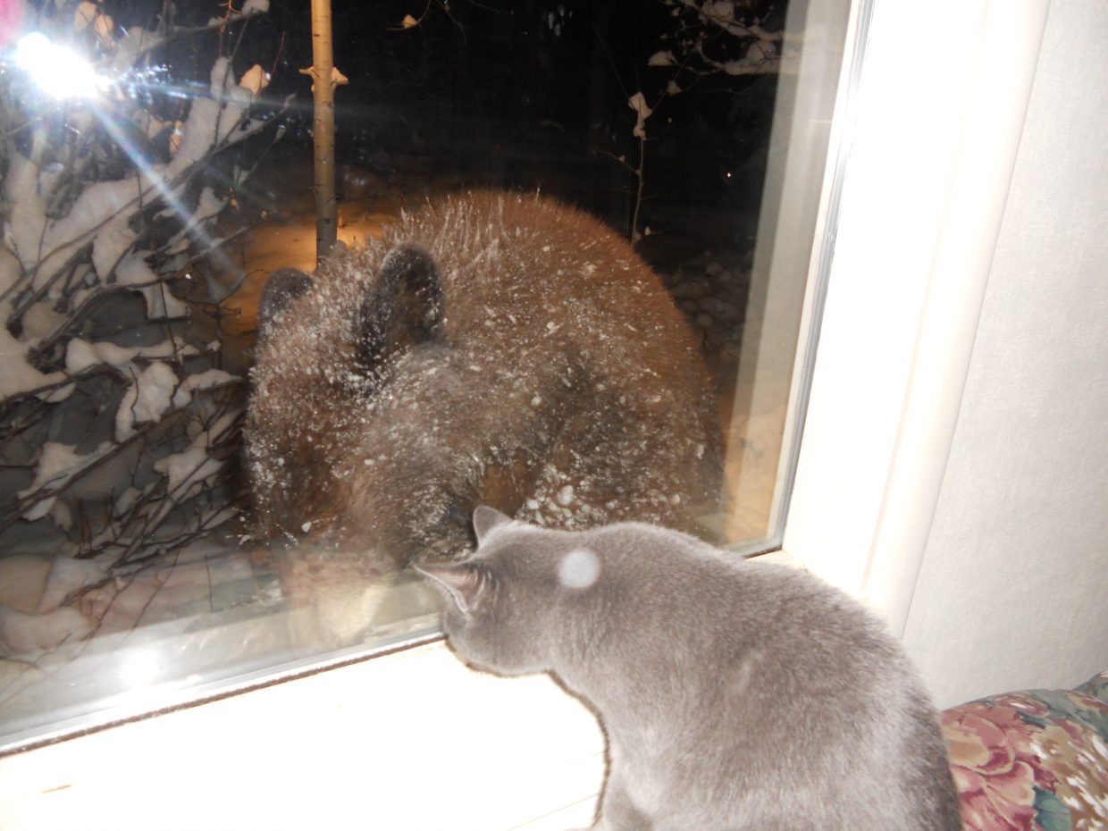 Cat vs. bear in Routt County. Taken at Boulder Creek Road and Fish Creek Falls. Submitted by: John St. Pierre