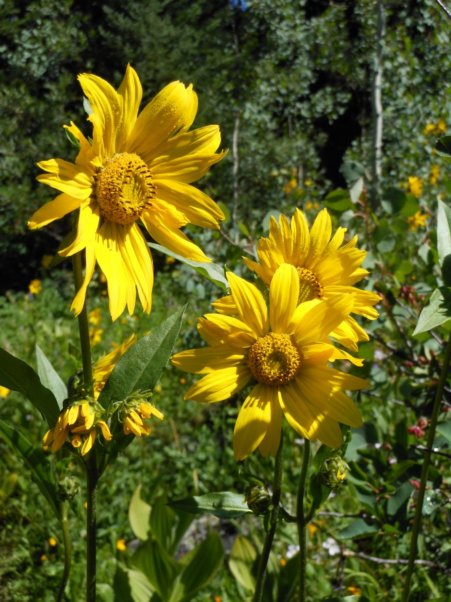 Sunflowers at Soda Creek. Submitted by: Anne Lauinger