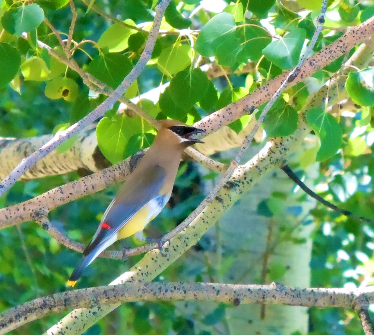 Cedar waxwing at Rollingstone Ranch Golf Course. Submitted by: Anne Lauinger
