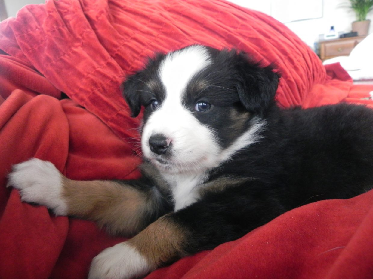 Hank, a 6-week-old petit Australian Shepherd. Submitted by: Betsy Smith