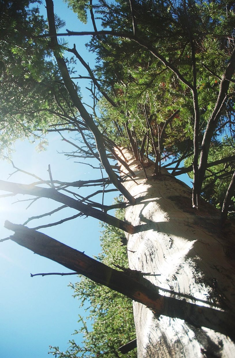 A dead spruce tree is surrounded by healthy trees near the Flat Tops Wilderness Area.