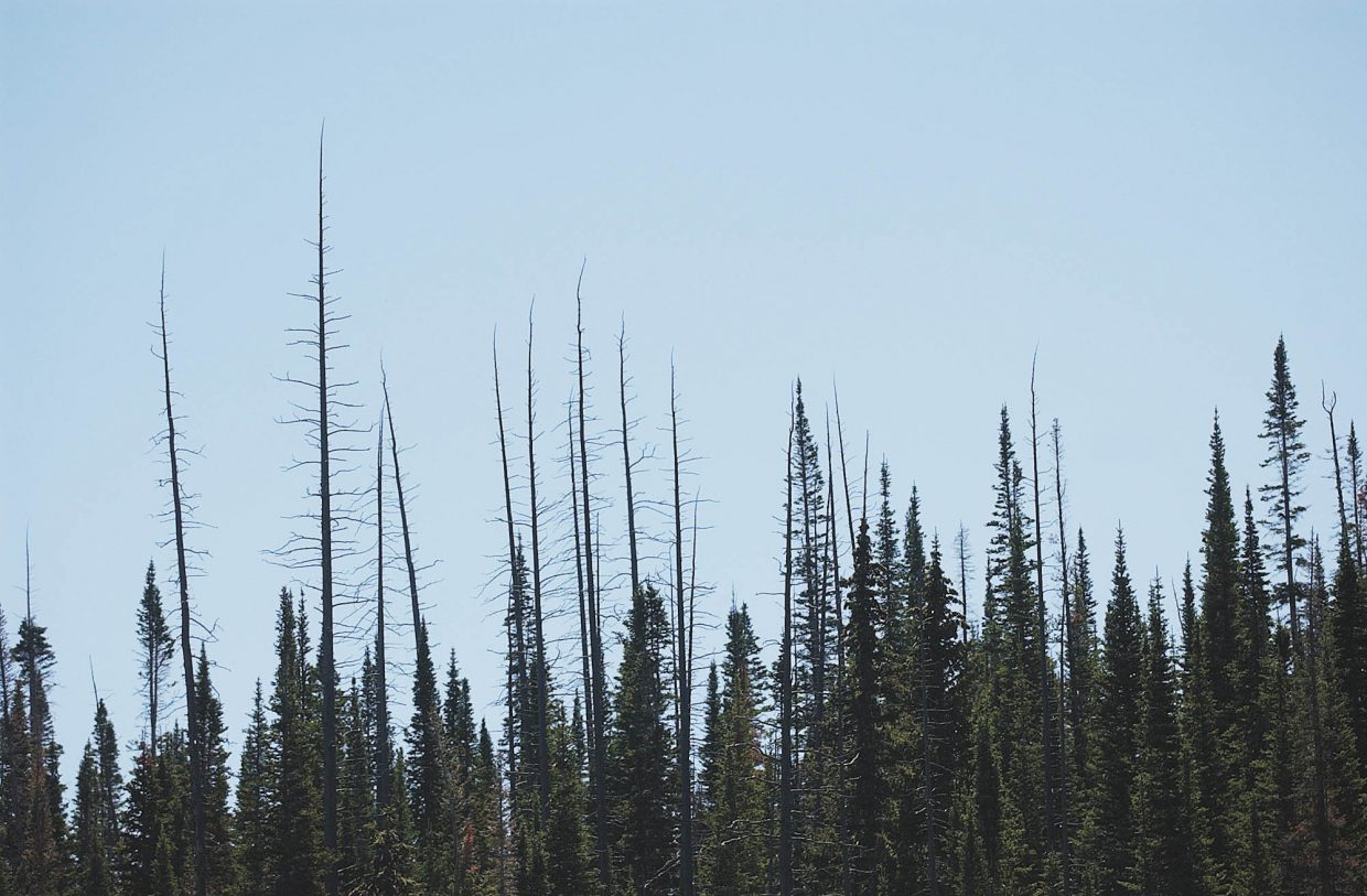 Healthy spruce trees near the Flat Tops Wilderness Area slowly are growing tall enough to reach the tops of the dead spruce, which have remained standing for 50 years because of their strong root systems.