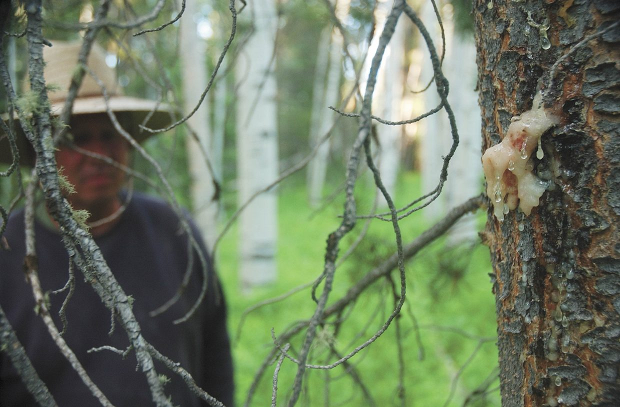 North Routt County resident Jim Burton looks at sap oozing from a pine tree in his subdivision. The tree attempts to defend itself by pushing the pine beetle out with sap.