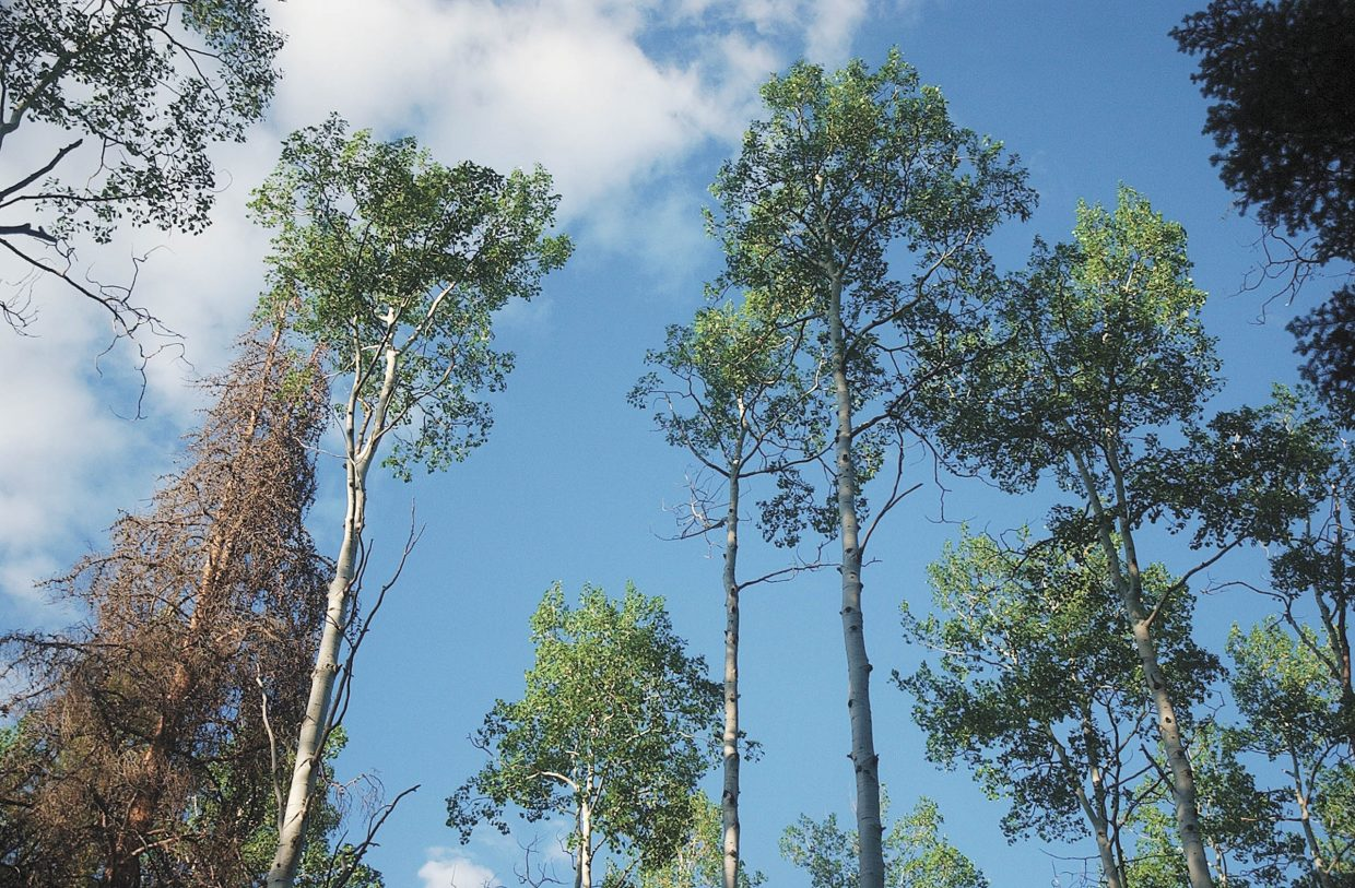 Aspens are the dominant species at the Red Creek subdivision in North Routt County, which was thinned of many of its mature lodgepole pine trees.