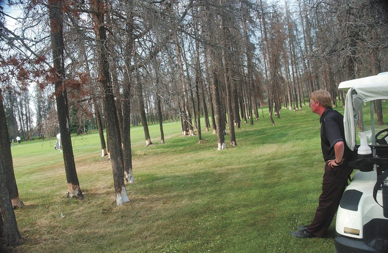 Geof Magrath, associate pro at the Prince George Golf and Curling Club in British Columbia, watches golfers through the dead lodgepole pines, which were the dominant species at the course. The club is building a new course in an area that has very little pine.