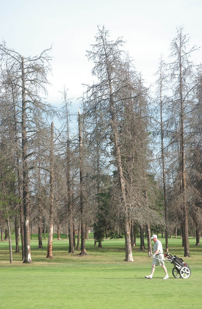 John Norman of Prince George walks up the ninth hole fairway lined with dead pines.