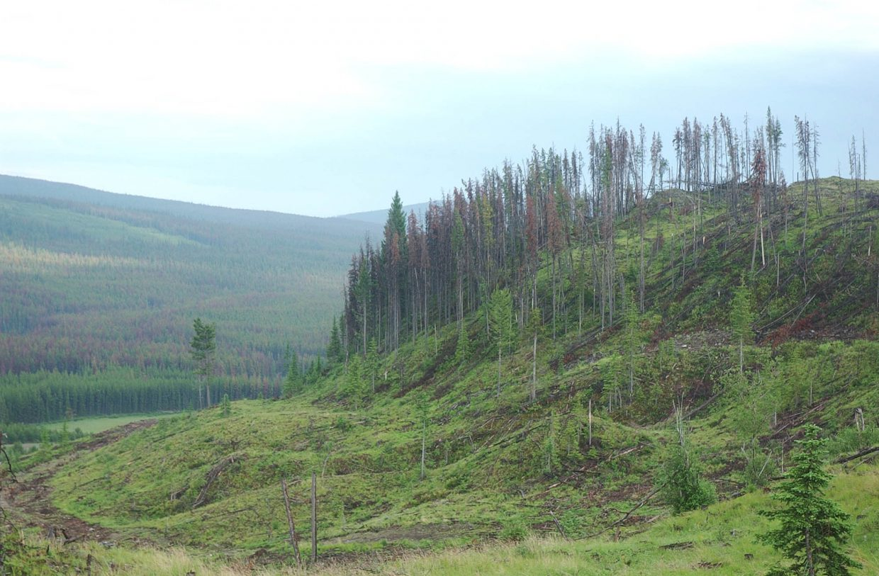 Beetle-killed lodgepole have been heavily logged from areas around Kamloops, British Columbia.