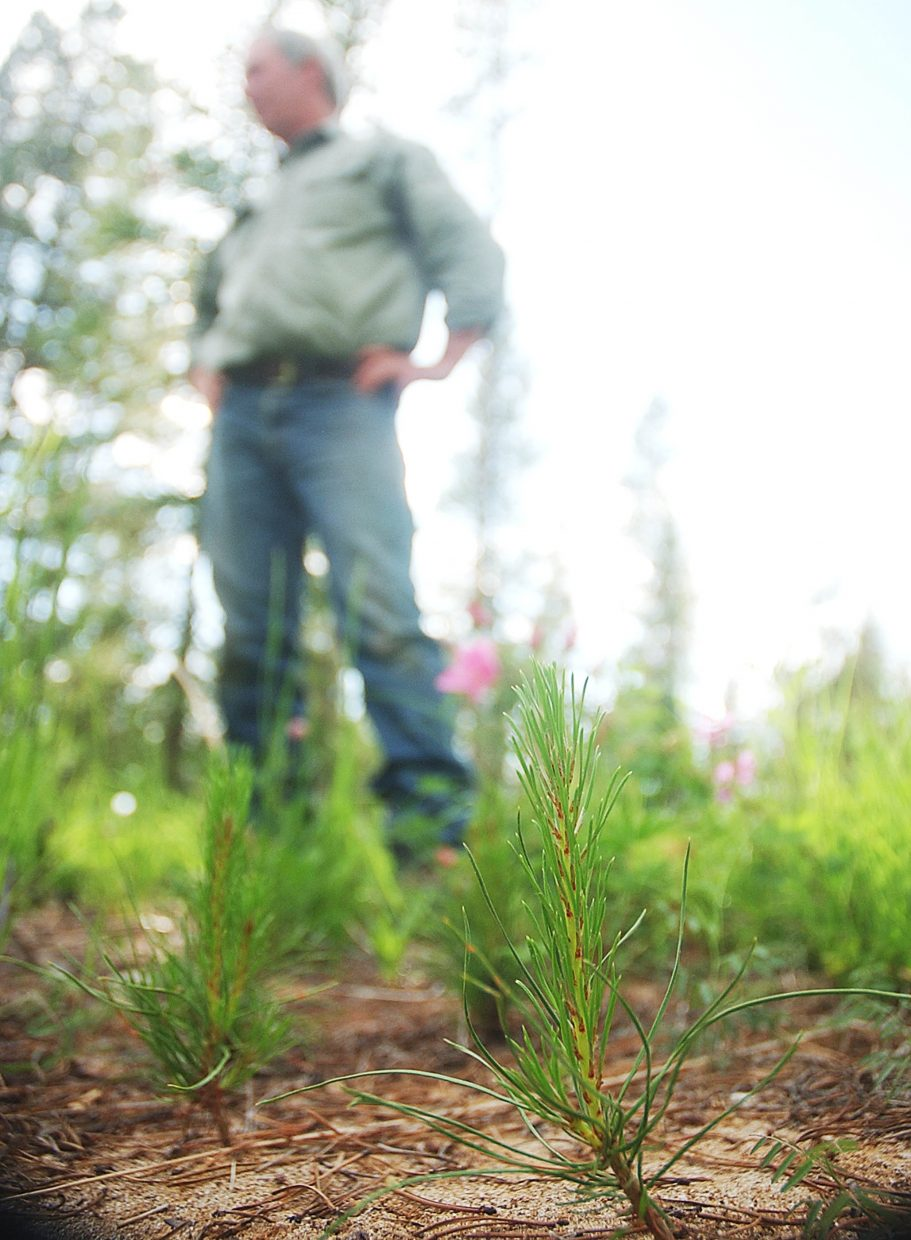 The birth of a lodgepole pine stand is under way at Charlie Cammer's property, where saplings stand just a few inches tall.