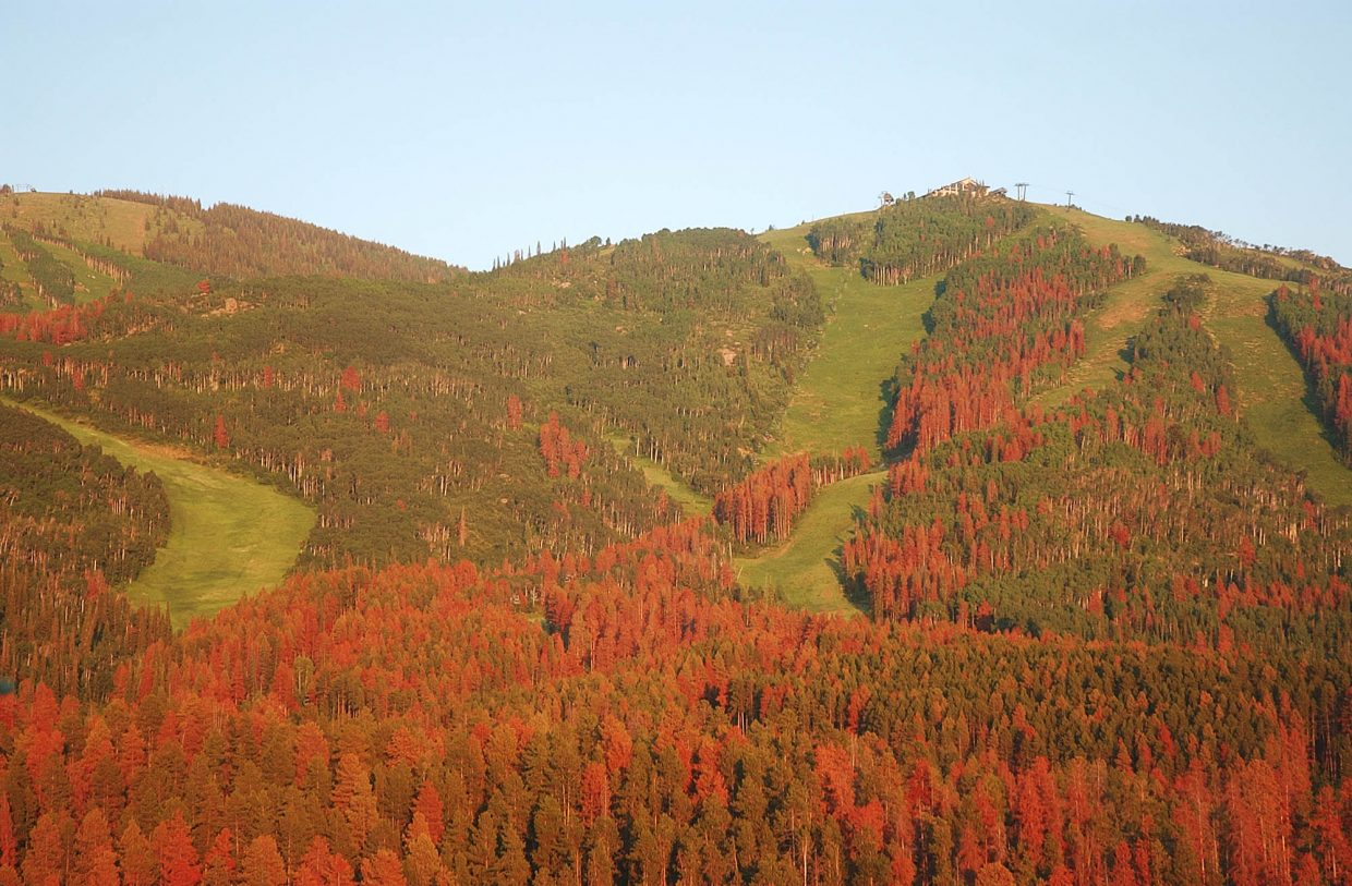 The mountain pine beetle has devastated parts of the Steamboat Ski Area.