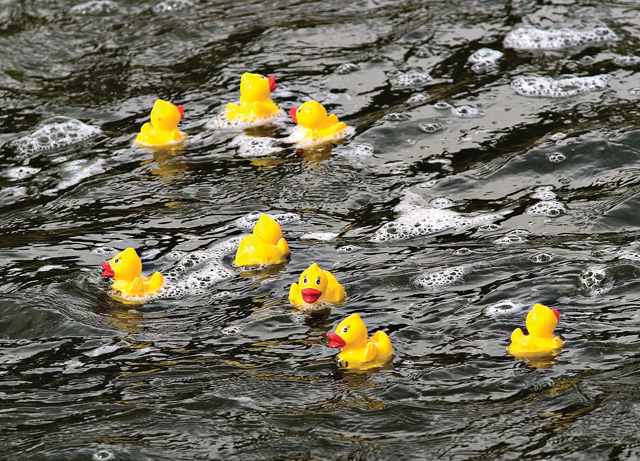 More than 2,200 yellow rubber toy ducks floated downstream on the Yampa River between the Fifth Street and 13th Street bridges during last year's Rubber Ducky Race.