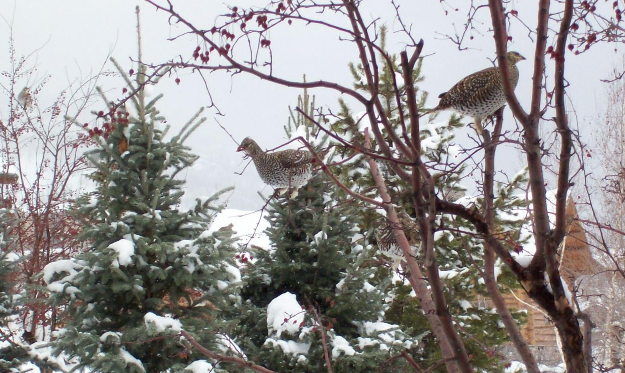 We have had about a dozen grouse living in our yard for past three weeks off of Steamboat Blvd. Photo by Lori & Bob Burks, 1/9/20.
