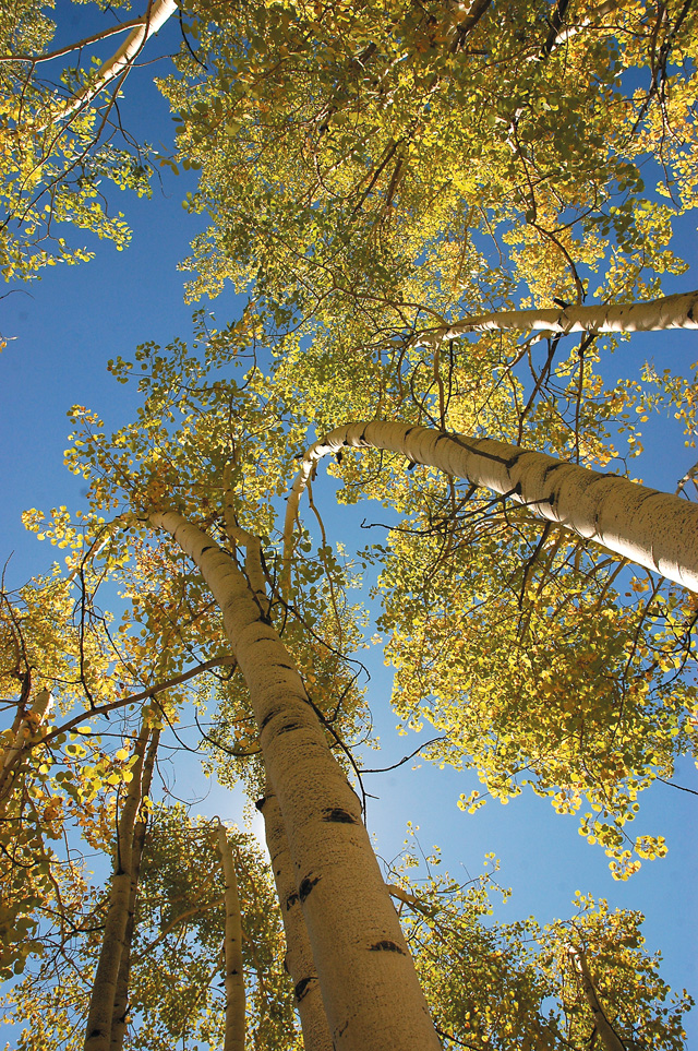A spectacular way to view turning aspens while lying beneath and looking up in to a clear blue sky gives a whole different viewing perspective of fall.