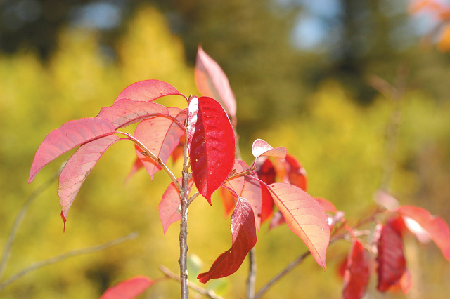 Brillant red broad leave shrubs in the area of Spring Creek against a start of a yellow and green fall change of color.