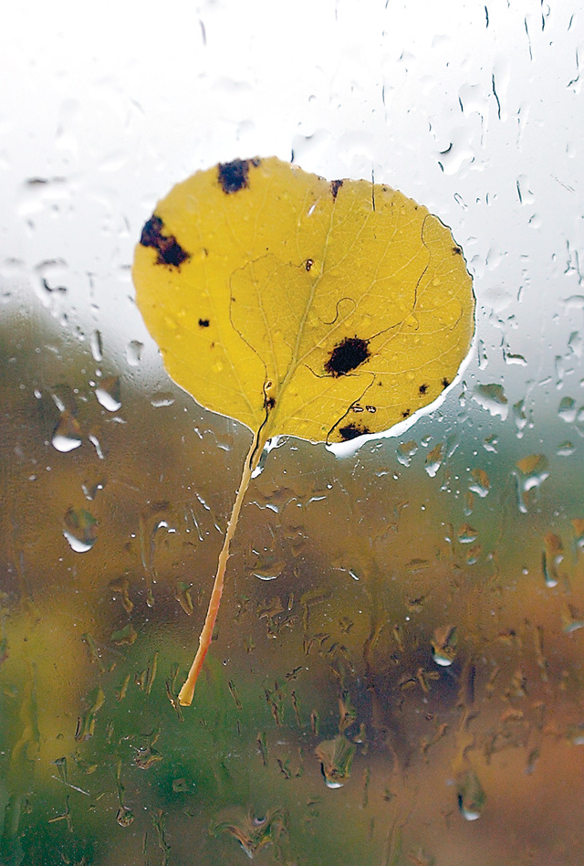 Aspen leaves after falling from their summer perch on a vehicle window shows a closeup of the deep yellow colors they change to during fall.