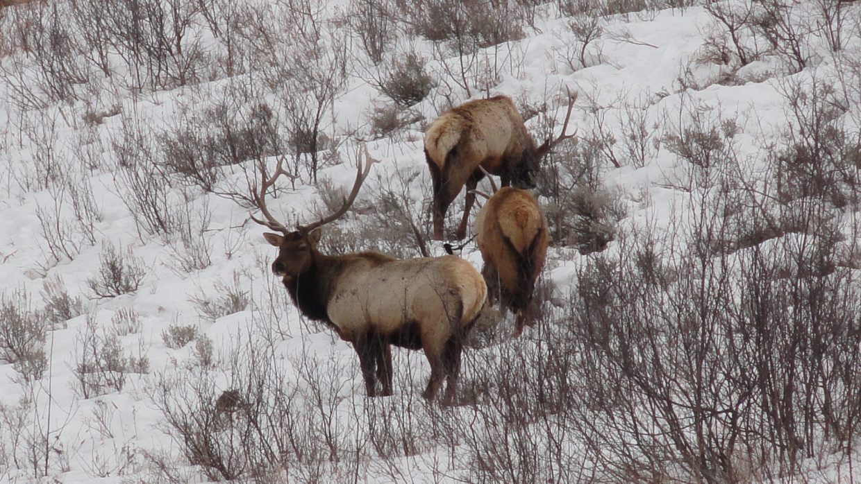 Three bull elk spotted off of Hilltop Parkway on Feb. 8. Submitted by: Kelly Deveraux