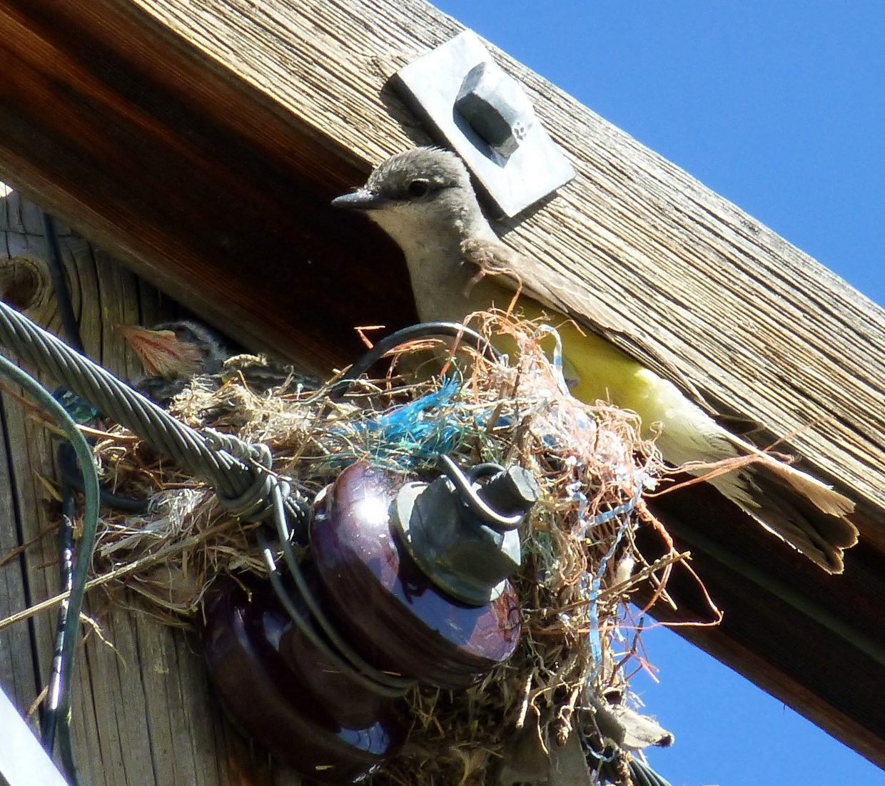 Feeding time for baby kingbird. Submitted by: Gail Hanley