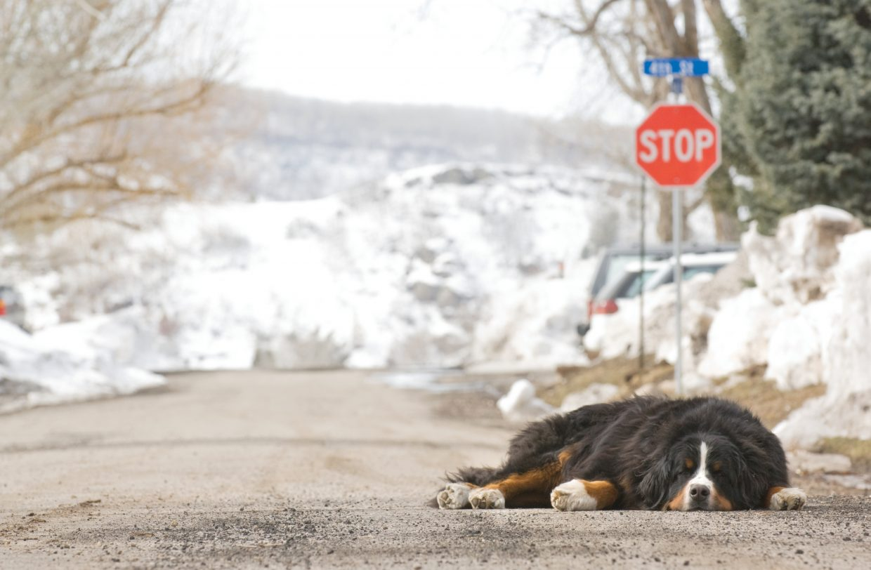 Necco, a Bernese mountain dog, takes advantage of a warm winter day to nap near Maple and Fourth streets.