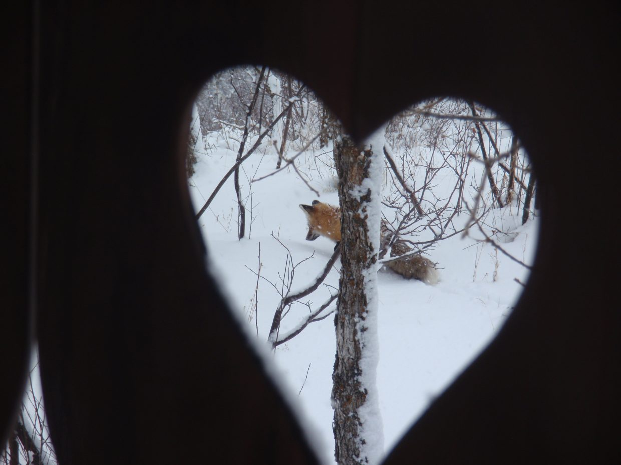 Steamboat Today reader Victoria Belz shot a photo from her deck in Big Valley Ranch of this fox hunting for breakfast.