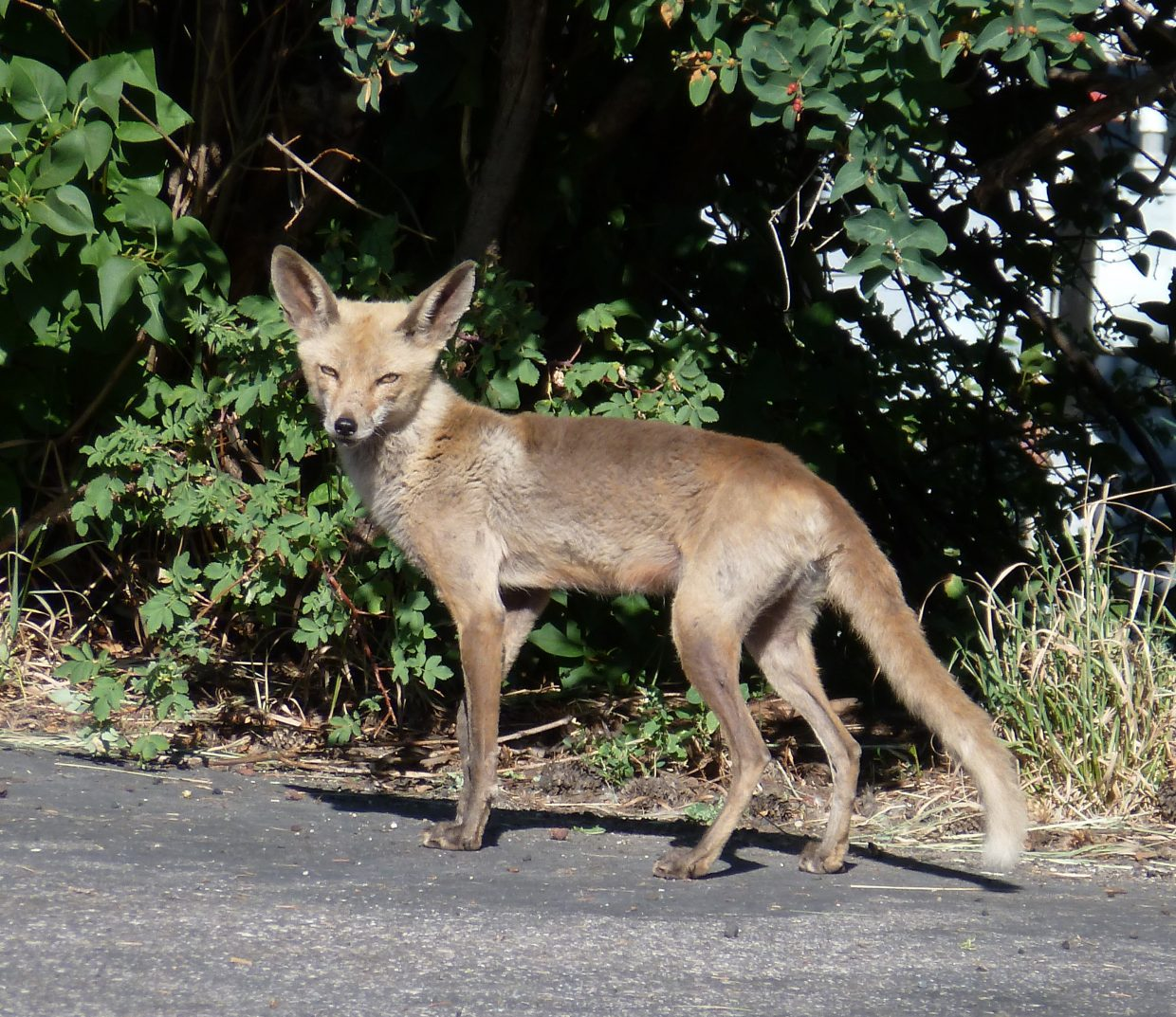 "I saw these ""semi hairless"" foxes while walking downtown Wednesday. Submitted by: Gail Hanley"