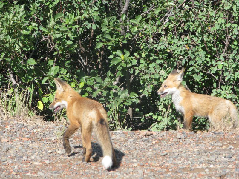 Fox kits in Steamboat Springs. Submitted by: Terry Doherty