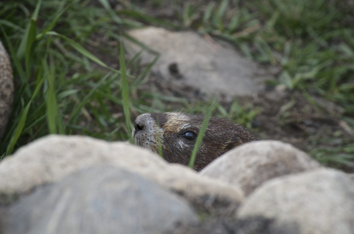 Shy marmot. Submitted by: Dana Stoner