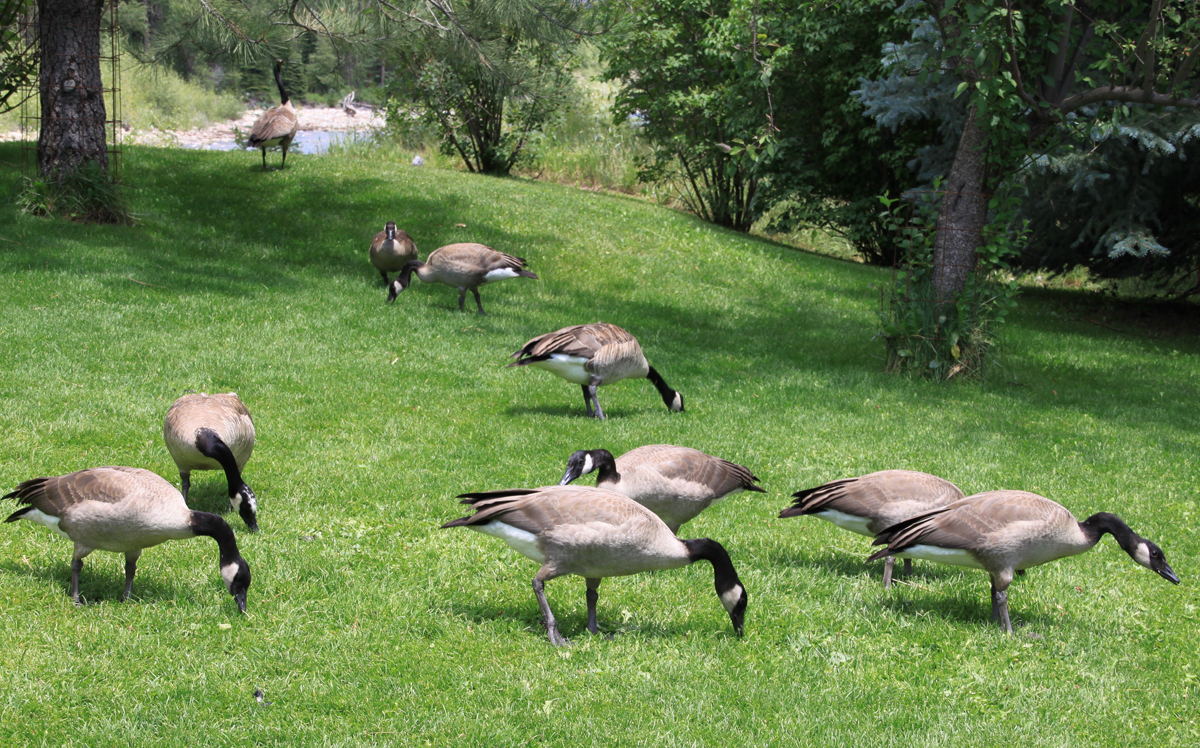 A Gaggle of Geese. Submitted by: G Frederic Reynolds