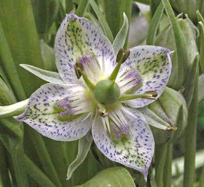 Each green gentian plant can produce about 600 flowers, and each flower can produce 60 seeds.