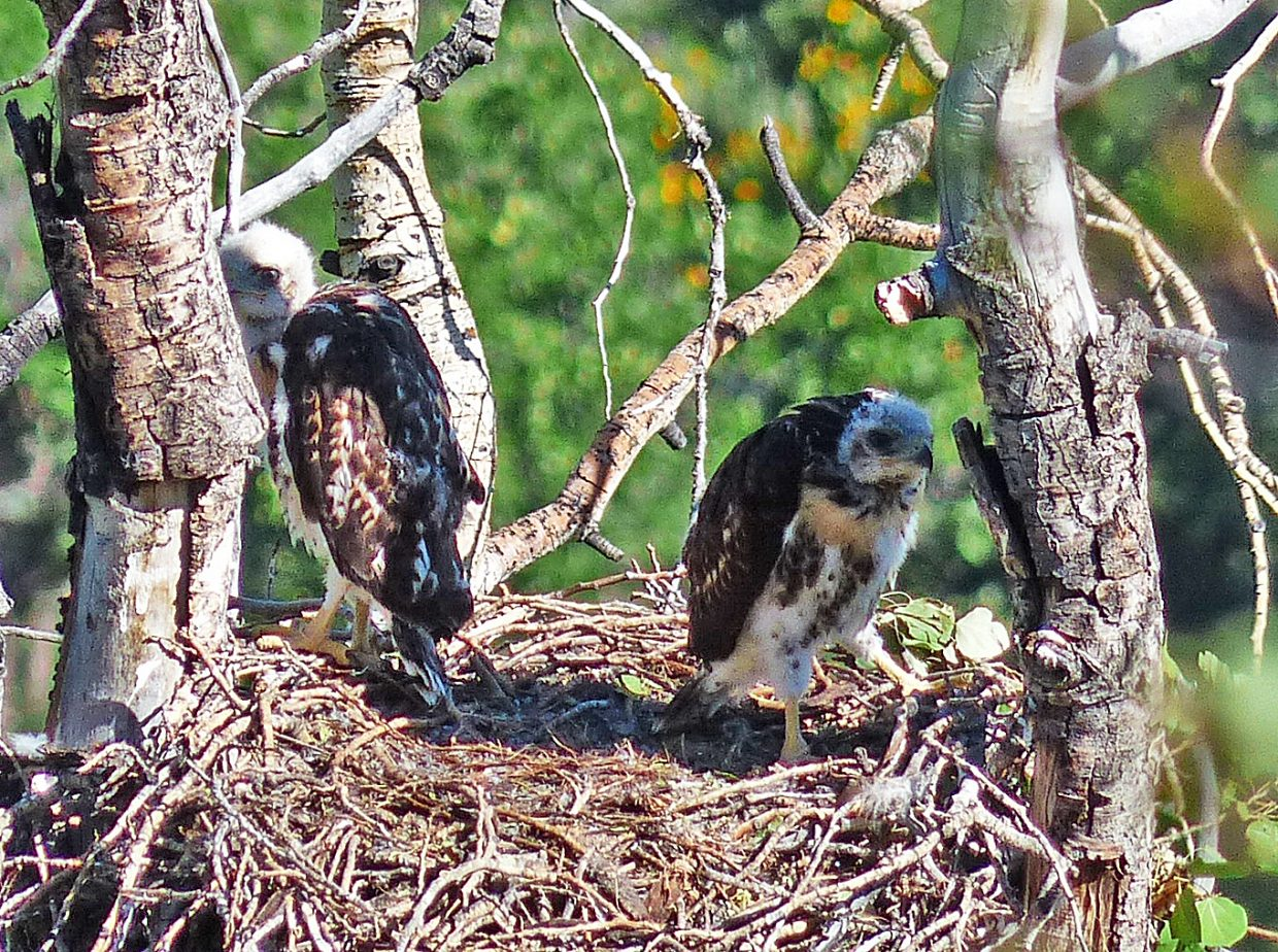 A pair of Red-tailed Hawk chicks on their nest on Emerald Mountain. Submitted by: David Moulton.