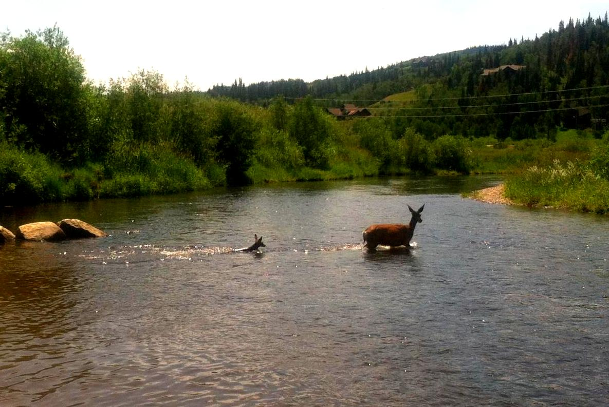 A mother deer and her fawn crossed the Yampa River on Monday and managed to avoid the those tubing the river. Submitted by: Heather Bolles