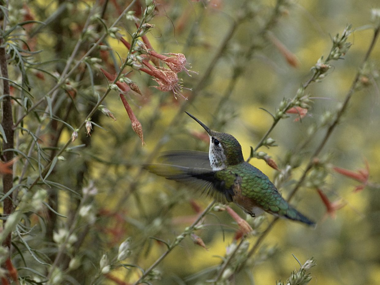 Hummingbird, Yampa River Botanic Park. Submitted by: Jeff Hall