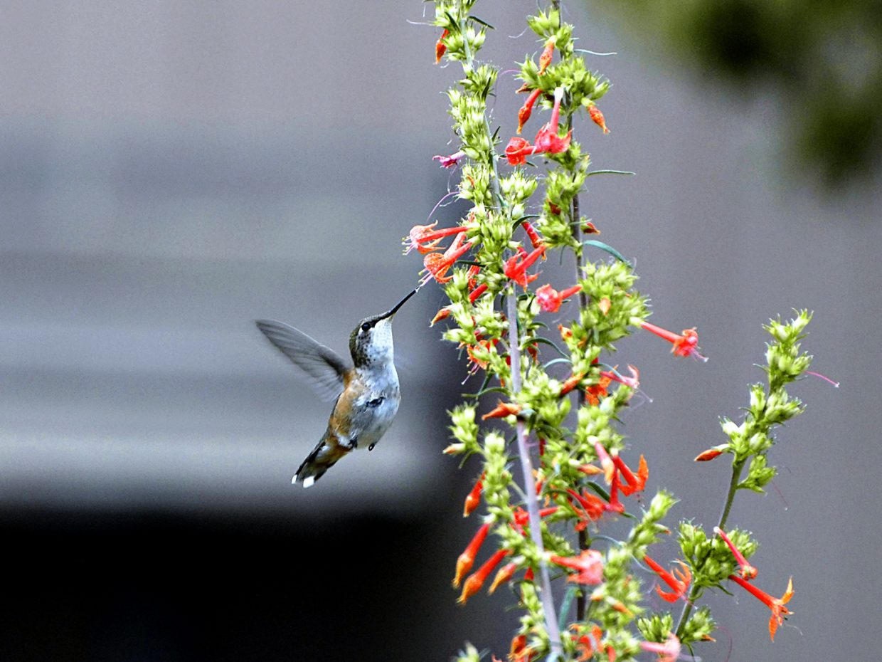 A hummingbird having a little snack at the Yampa River Botanic Park. Submitted by: Jeff Hall