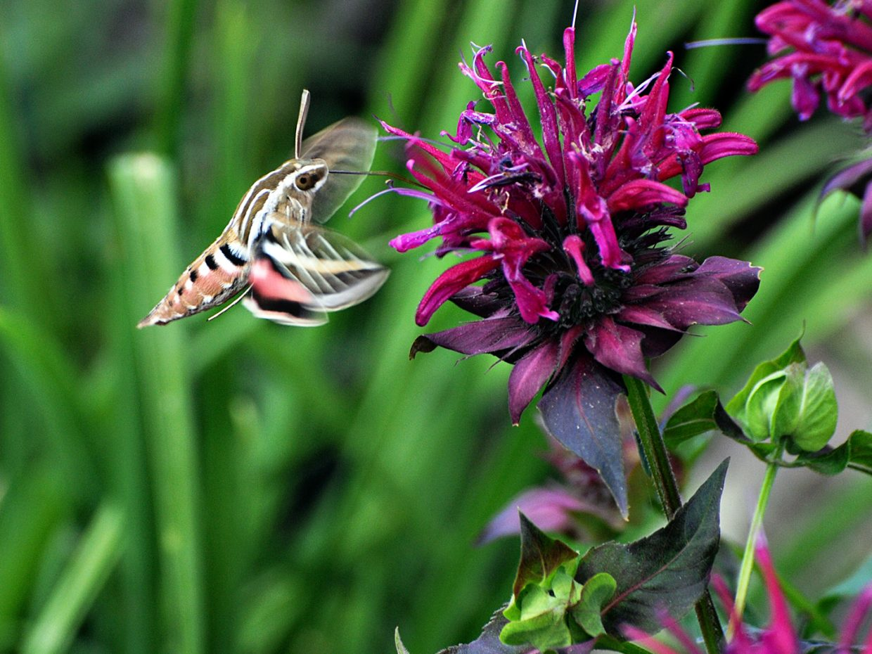 Hummingbird moth at the Yampa River Botanic Park. Submitted by: Jeff Hall