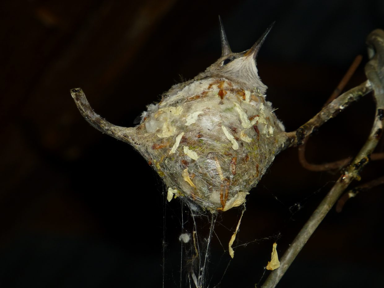 Hummingbird nest at Rehder Ranch. Submitted by: Gail Hanley