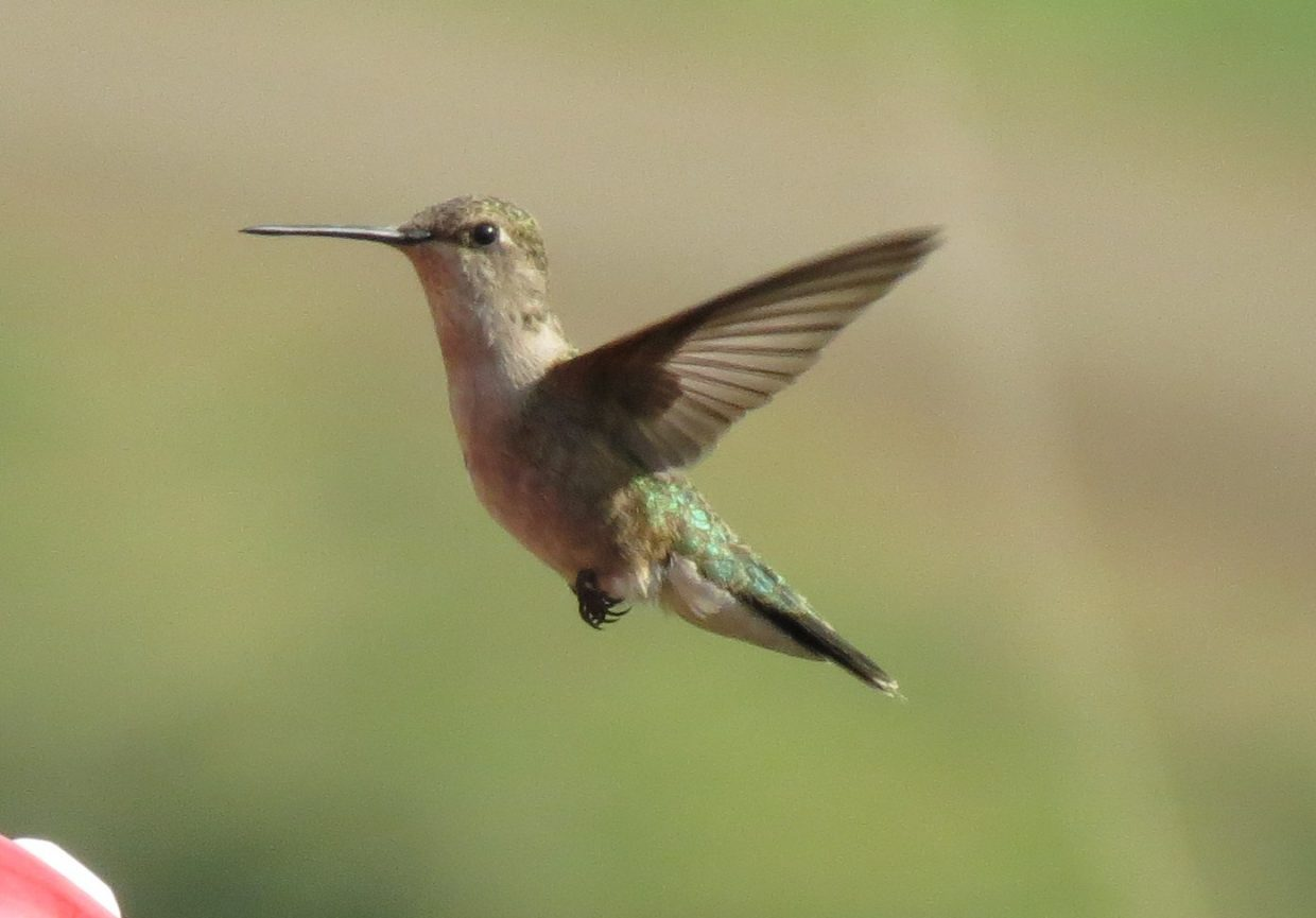 Hummingbird in flight. Submitted by: Chris Blossom