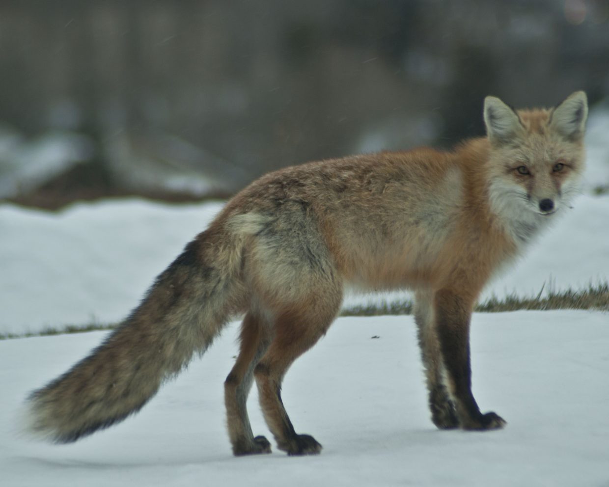 Fox hunting in the snow. Submitted by: Rachel Murphy