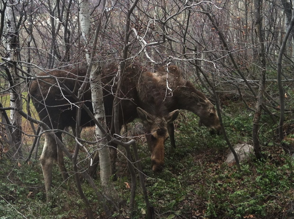 A mama moose and baby moose off my deck on Clubhouse Drive, right outside my bathroom window. Submitted by: Ron and Bernadette Murray