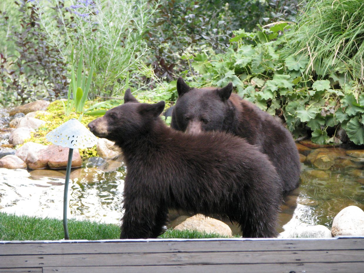 Bears in pond. Submitted by: Josie Fratus